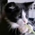 子猫はストローで飲みたいようです。このこのぉ! → たたかう子猫はこうなります…