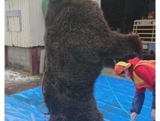 【画像】300キロ超のクマ、捕獲