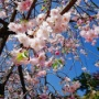平成最後の素敵な桜
