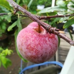 果樹ログ~果樹を育てて食べる~