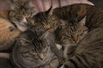 もふもふでぬくぬく・・・猫が固まって寝ています。