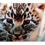 『地球ドラマチック【書き起こし】 野生の雌ヒョウ マナナ①~③』の画像