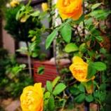 『元気が出るバラ?!』の画像