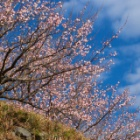 『幕山公園・梅林』の画像