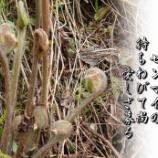『山菜の王』の画像