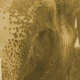 『米中首脳会談で象の保護で合意』の画像