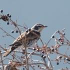 『ツグミ(鶫) ~庭に来る野鳥~』の画像