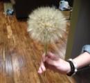 【画像】 海外に存在する超巨大綿毛