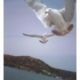 『松島のかもめ』の画像