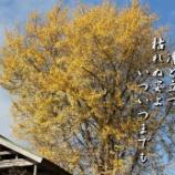 『木小屋と銀杏の老木』の画像