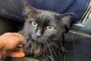 【ネコ】黒猫のサーシャ、5年間3400キロの散歩を経て飼い主の元に帰る:オレゴン