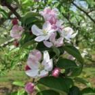 『リンゴの花咲く』の画像