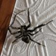【画像】こいつが安全か判定してくれ(クモ) #蜘蛛 #クリーチャー