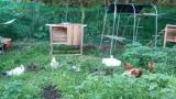 鶏の放牧場を作った結果www(※画像あり)