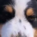 イヌの顔をブラッシングしてみた。2本のクシでなでなで♪ → 顔はこうなっちゃう…