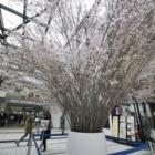 『あざみ野駅の桜のモニュメント(3/31まで) 2019/03/30』の画像