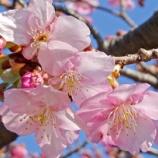 『【写真】 早めに咲く桜! あと梅と動物たち @WX500 (猫・ハクセキレイなど)』の画像