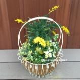 『エニシダとガーベラをワイヤーバスケットに植えて「元気の出る」寄せ植えを作ってみました!』の画像