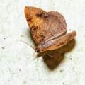 箕面で夜の蛾探し①