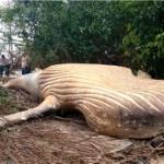 【動画】ブラジル、アマゾンの密林でザトウクジラの死骸を発見!いったい何が…!? [海外]