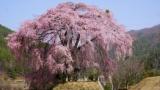 枝垂れ桜撮ってきた😋(※画像あり)