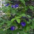 *〝バタフライピー〟美容によろしい青いお茶|ハク入院