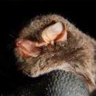 『北信のユビナガコウモリ』の画像