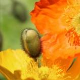 『「弄花香満衣」さまざまなポピー 1』の画像