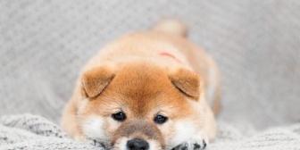 普段はキリっとした堅物の義父さんが、最近飼いだした柴の子犬にデレデレ。柴犬、やりおる…