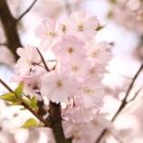 『『シークレットガーデン』桃と桜〜ピーチ&チェリー』の画像