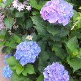 『紫陽花・*:..。o○☆三室戸寺へ』の画像