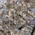 桜色ではない「さくら白玉たいやき」