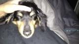 犬と寝てるが暑い(※画像あり)