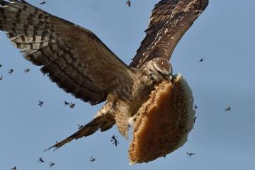 鷹が蜂から蜂の巣を奪う画像がかっこいい