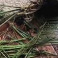 【イヌ】 部屋の観葉植物が倒れていた。床には土が散らかっている。誰の仕業? → 犯人はすぐに分かりました…
