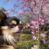 『桜を見に王仁公園へ🌸』の画像