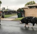 保安官がお手柄!逃げた豚をドリトス(ナチョ・チーズ味)で養豚場まで誘導 米カリフォルニア州
