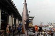 韓国で「偶然に網にかかって」捕獲されたクジラ、日本の調査捕鯨の2倍…ネットでは「シー・シェパードさん出番ですよ」の声