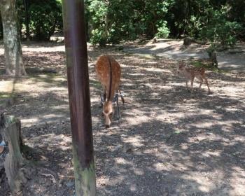 奈良公園の鹿の首に矢が刺さった状態で発見される(画像あり)