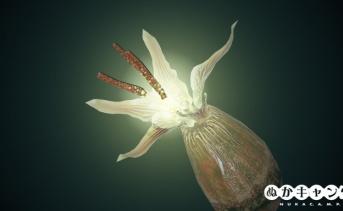 ストラングラーポッド / ストラングラーの花