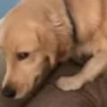 【イヌ】 サンダルに噛み跡があった。これをやったのはあなた? → 犬はソファの上でこうなった…