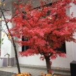 『12月ですが店前の紅葉が凄い!!』の画像