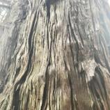 『戸隠の岩窟観音堂の千年杉』の画像