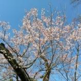 『桜が咲いています』の画像