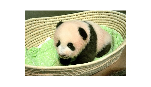 【海外の反応】上野動物園の赤ちゃんパンダの名前がシャンシャンに決定