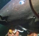 【動画】駿河湾の超巨大ザメ、4Kでの撮影成功 謎の生態に一歩近づく