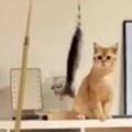 子ネコが棚の上にいた。猫じゃらしを振ってみる → 「子猫釣り」はこんな感じ…