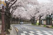 日韓で100年続く「桜の原産地」論争、韓国に軍配?