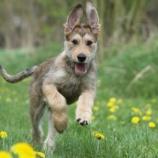 『アメリカケンネルクラブの新三犬種』の画像