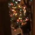 【ネコ】 12月になったので「クリスマスツリー」を出してみた → 毎年猫はこうなります…
